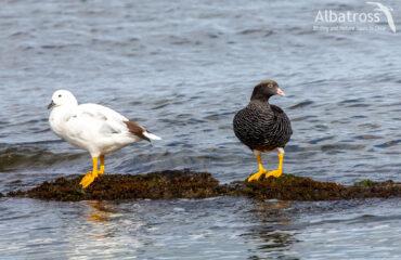 Kelp goose, 111117, , Albatross Birding And Nature Tours