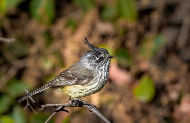 Tufted Tit-Tyrant, 020918, , Albatross Birding And Nature Tours