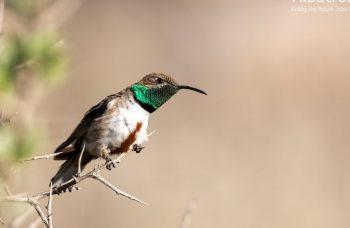Andean-Hillstar-161017-CHILE-@Fernando-Díaz-albatross-birding.com_-870x480